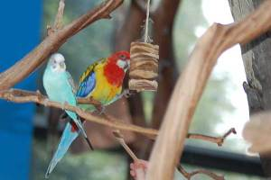 Eastern Rosella Parrot and budgerigar