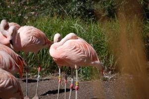 Flamingos napping.