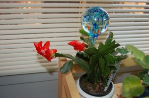 Blooming zygocactus