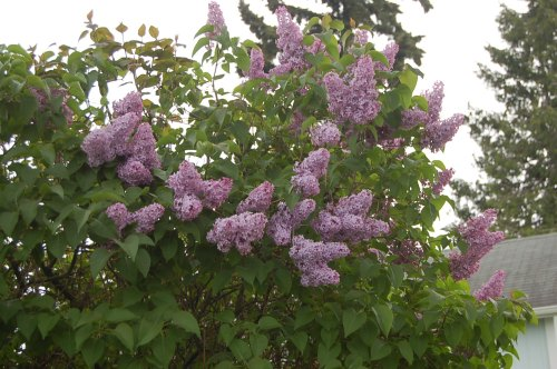 Lilacs in Bellingham