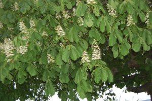 Horse chestnut blooms